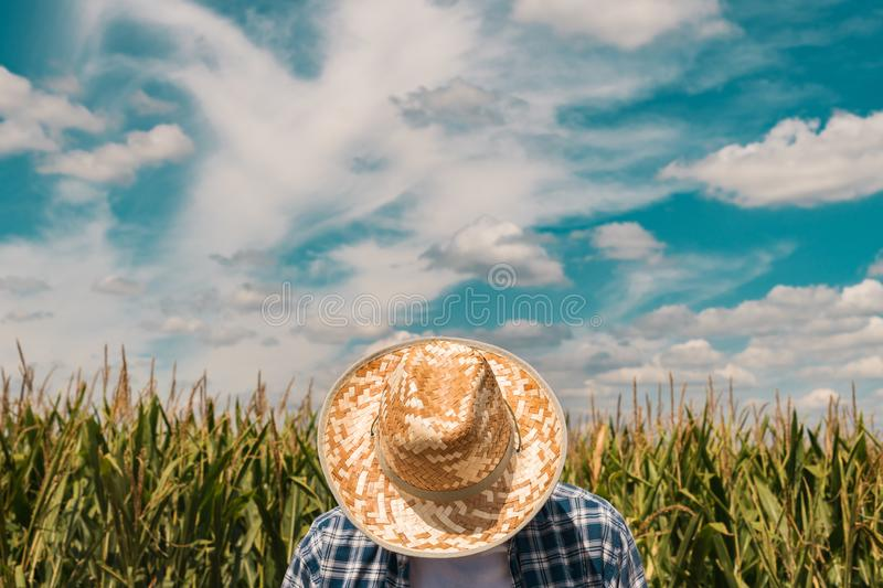 Corn farmer in cultivated maize field royalty free stock images