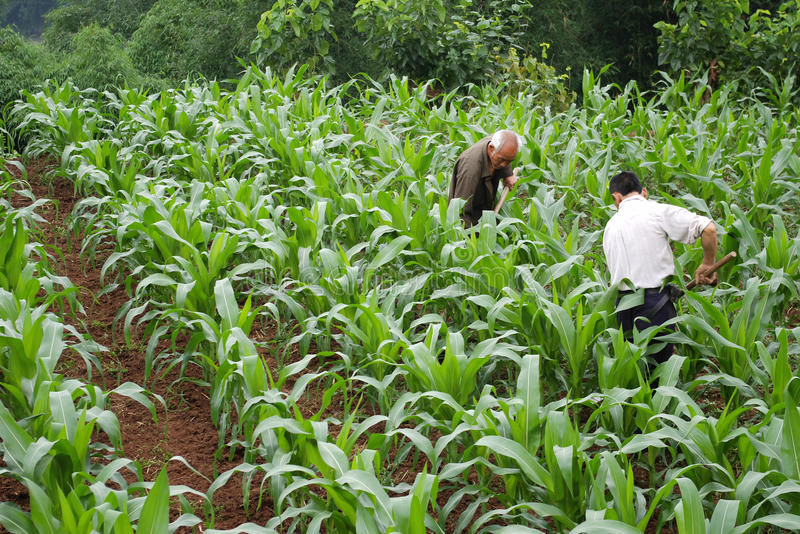 Download Corn farmers in the stock image. Image of asian, materials - 9496641