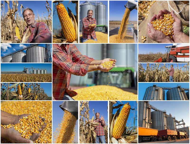 Corn Farming - Maize Growing, Harvesting and Storage - Photo Collage stock photos