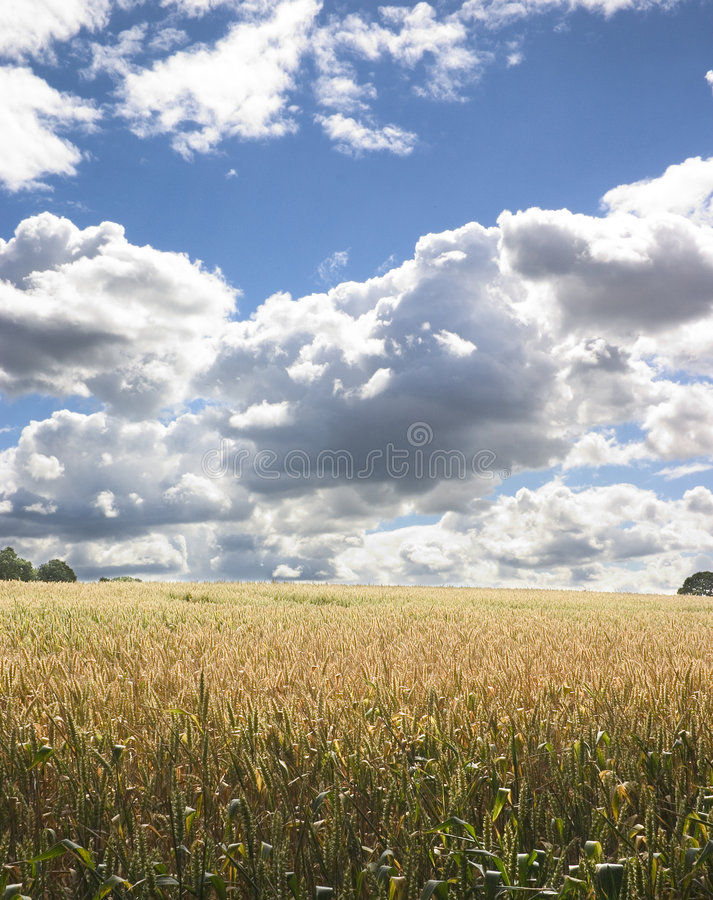 Corn Field 1 royalty free stock image