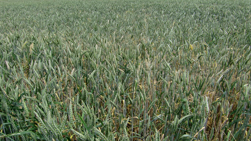 Download Corn field stock image. Image of agricultural, crop, outdoor - 10269803