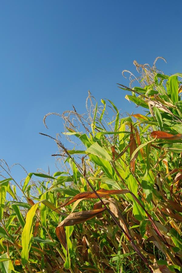 Download Corn Field stock photo. Image of deep, dinamic, rural - 10681838
