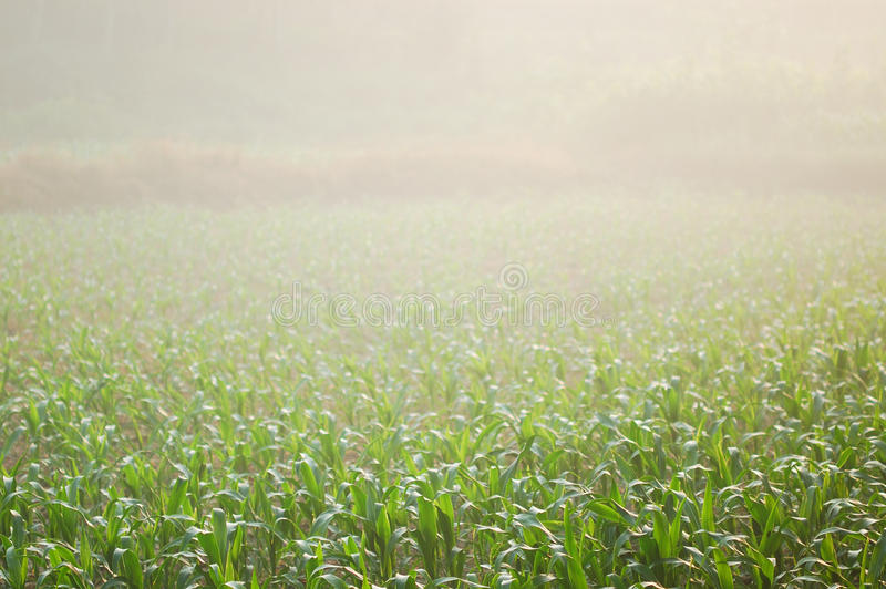 Download Corn field 12 stock image. Image of farm, leaf, leaves - 15246247