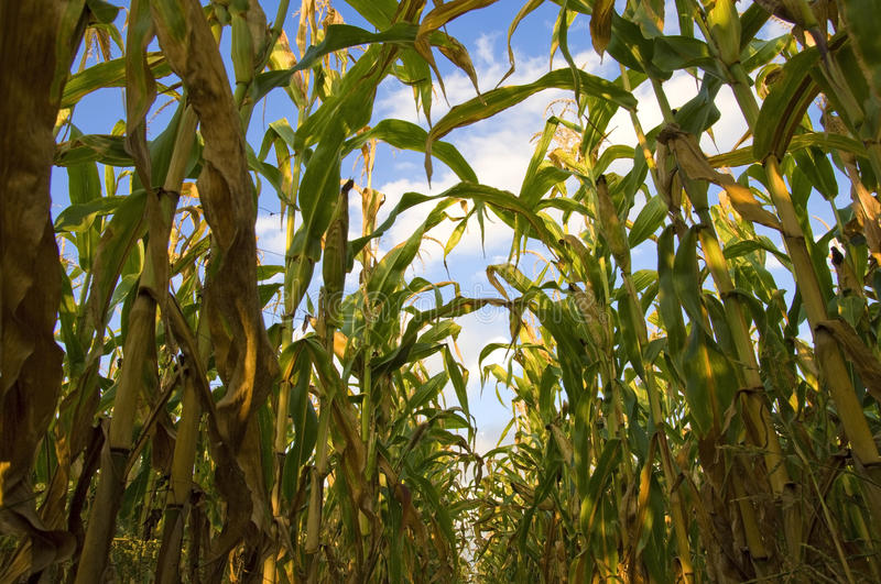 Download Corn field stock photo. Image of clouds, biomass, leaves - 12381192