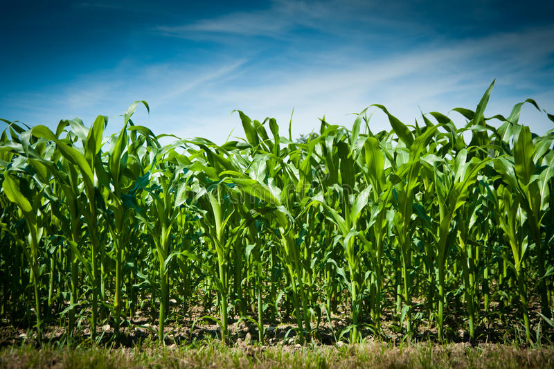 Download Corn field stock photo. Image of farm, corn, blue, environment - 15195948