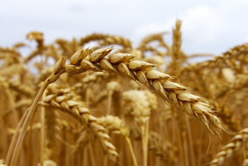 Download Corn field stock photo. Image of grain, summer, ripe - 18720410
