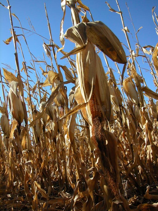 Corn Field 2 stock photo