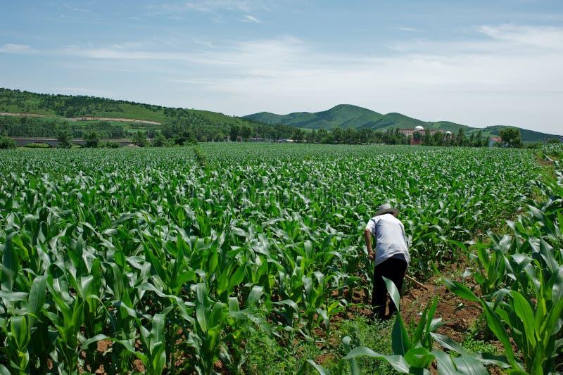 Corn field. A farmer working in corn field stock photos