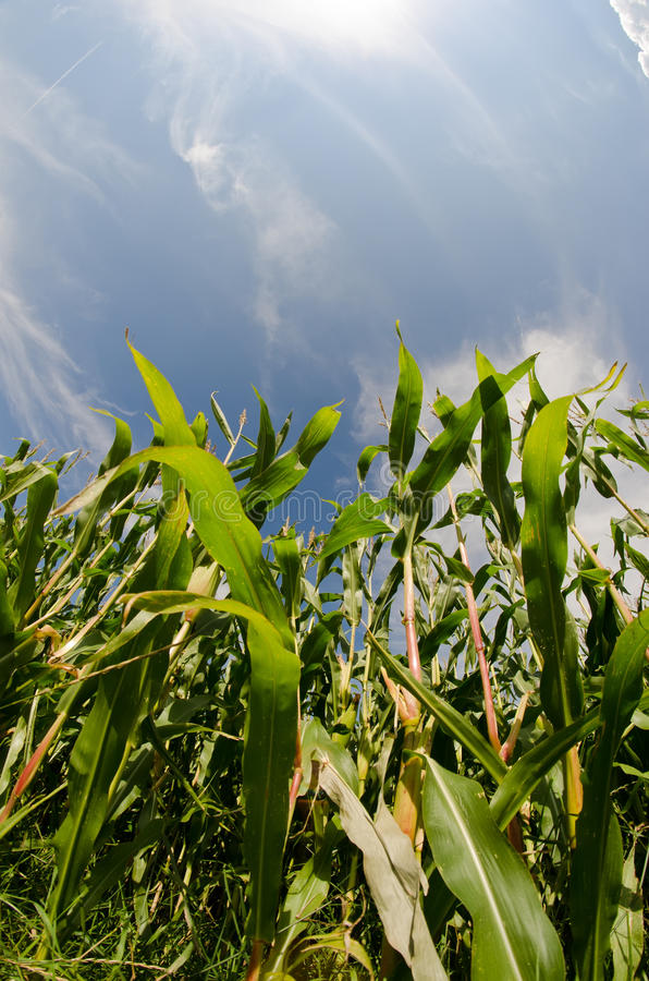 Download Corn field stock image. Image of freshness, growing, bright - 21176899