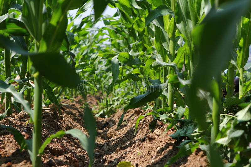 Download Corn field stock image. Image of field, space, grow, outdoors - 25346487