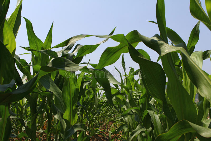 Download Corn field stock image. Image of vegetable, green, natural - 25346555