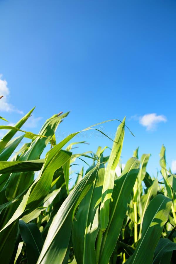 Download Corn Field stock photo. Image of beauty, grow, harvest - 26599340