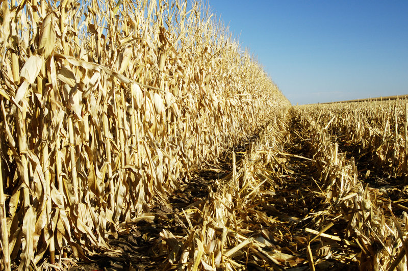 Corn in the Field 3 royalty free stock photos