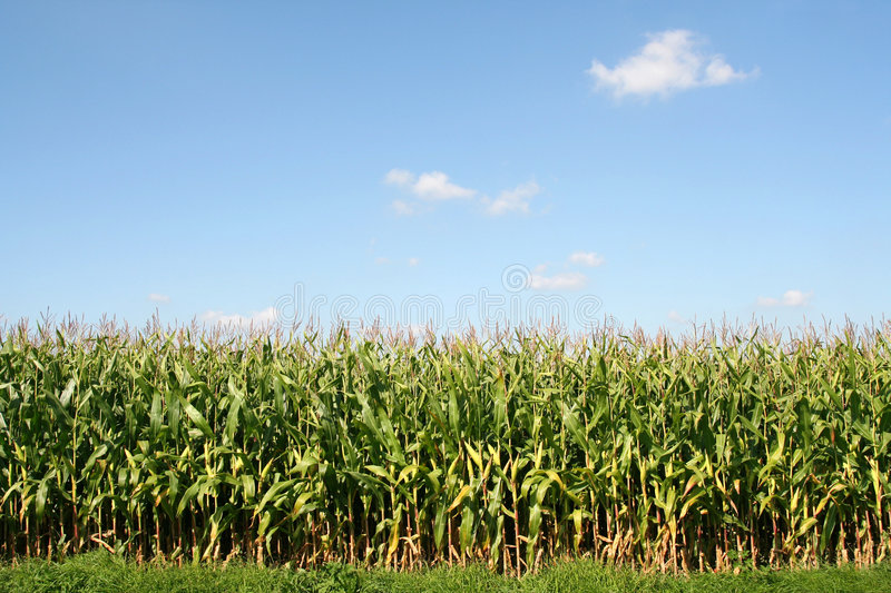 Download Corn field stock photo. Image of outside, cher, landmark - 3211396