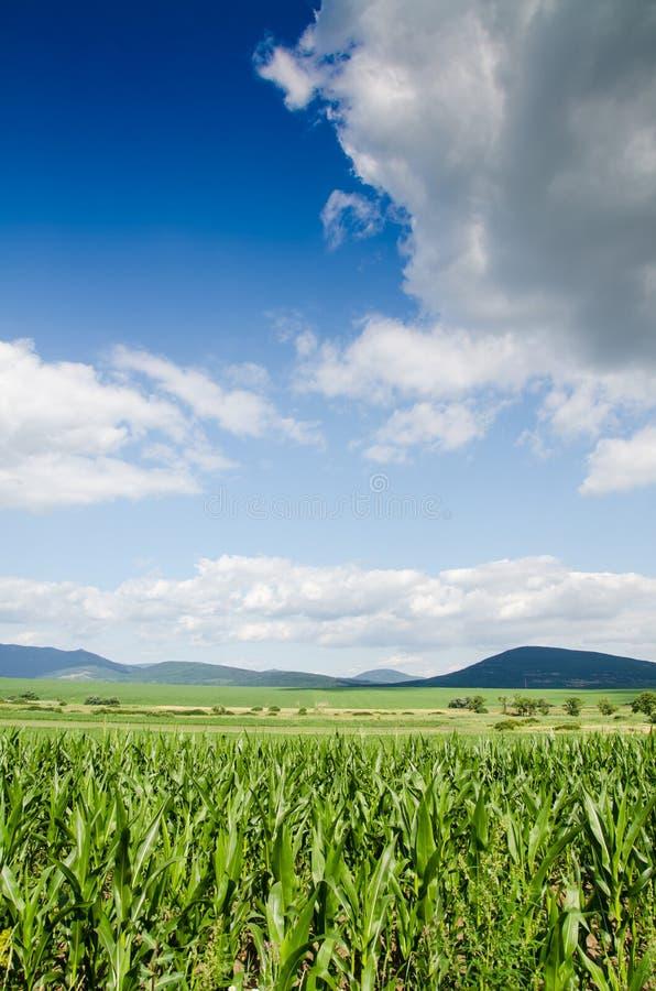 Free Corn Field Stock Photography - 37147912