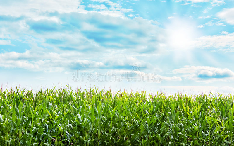 Download Corn field stock image. Image of growth, plantings, maize - 6476367