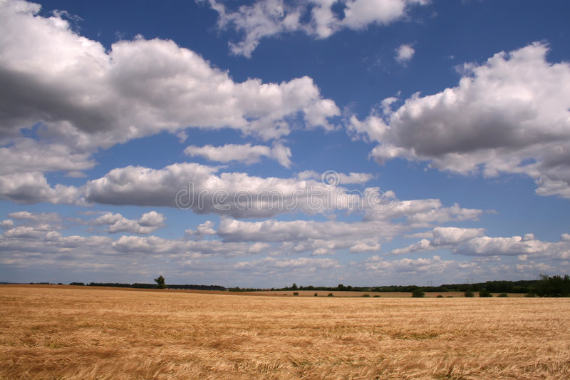 Corn field. Under white clouds on blue sky stock photography