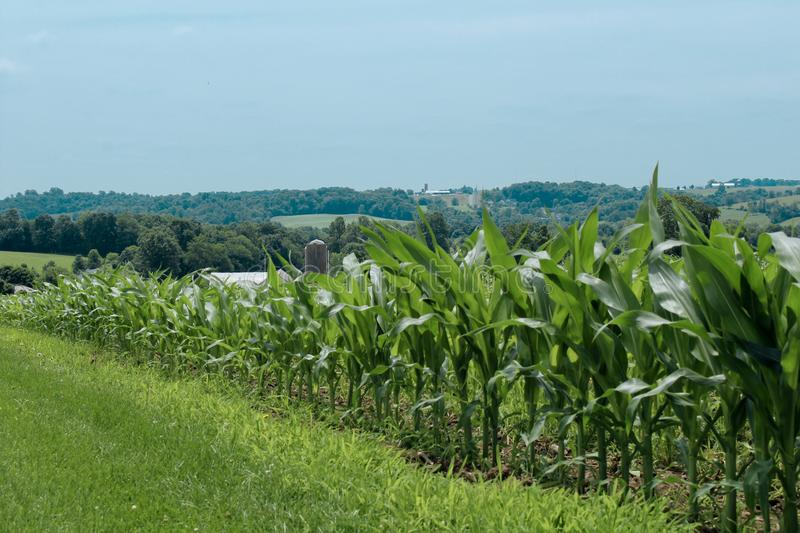 Corn field in amish country. Close up of a corn field in amish country with a view of fields in the distance royalty free stock photos