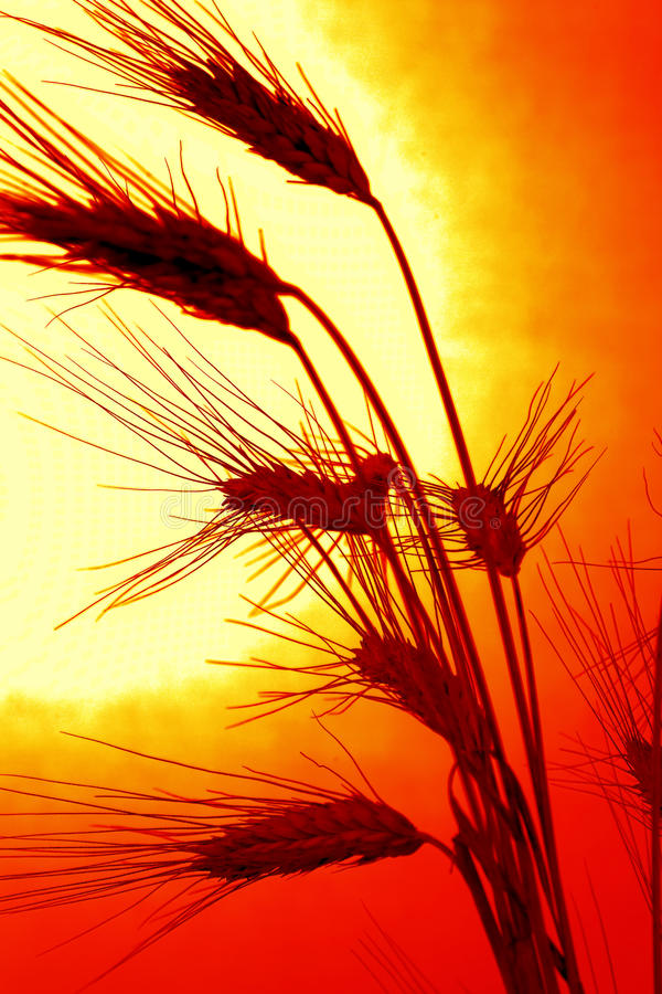 Corn field with barley before sunset. Corn field with barley from a Sunset stock images