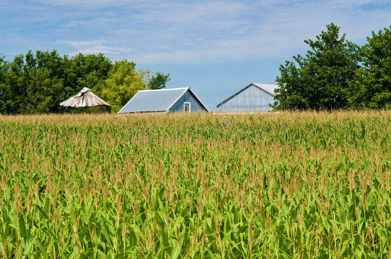 Corn field, and barns. A corn field and metal barns in the backgroud, rural minnesota stock image