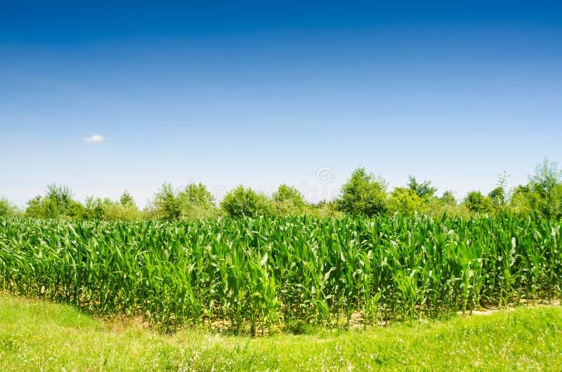 Download Corn field stock photo. Image of crop, horizon, land - 34468922
