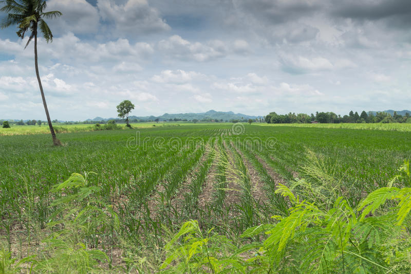 Corn field. On bright sunny summers day stock photography