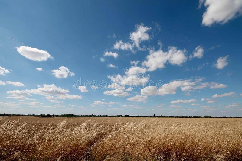 Corn Field in Cambridge, England. stock images