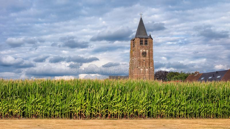 Corn field with a church tower on the background against a blue sky with clouds, Flanders, Belgium royalty free stock photo