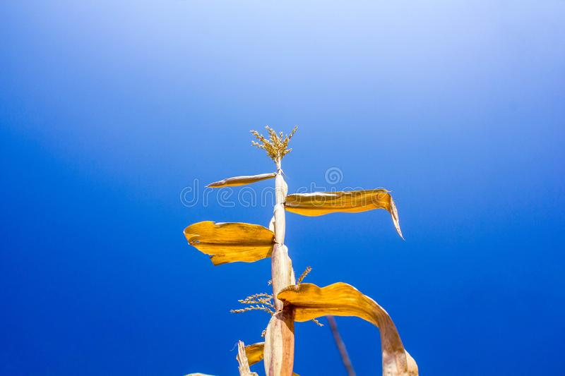 Corn field in clear day, corn tree with blue cloudy Sky royalty free stock photography