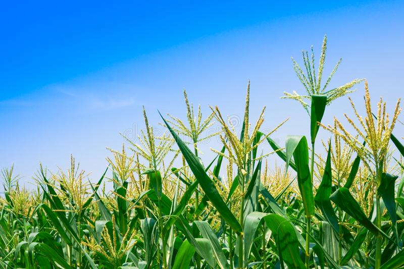 Corn field in clear day, Corn tree at farm land with blue cloudy sky royalty free stock photo