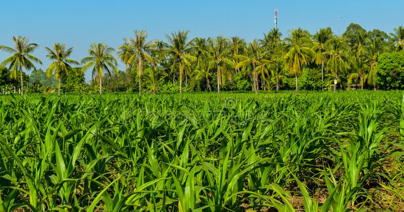 Corn field. And coconut trres local agriculture by sufficiency economy philosophy in the countryside of Thailand stock photo