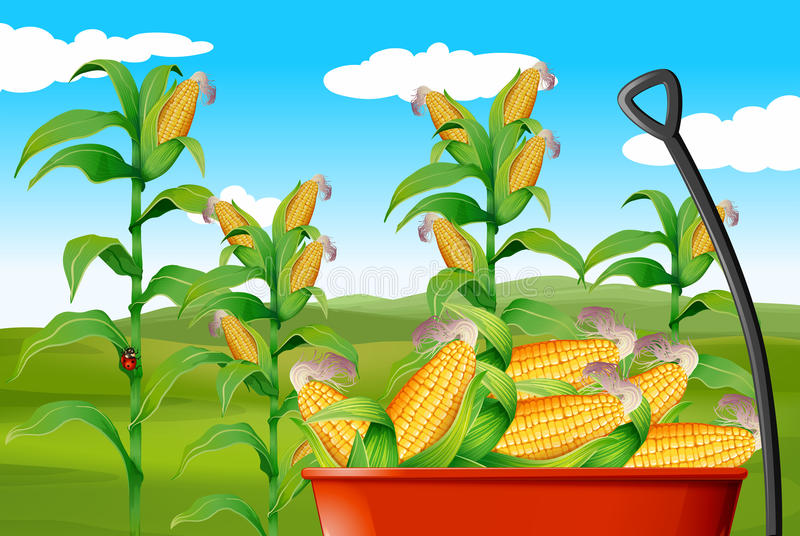 Corn field and corn in wagon. Illustration royalty free illustration