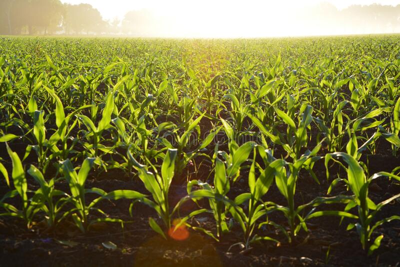 Corn Field During Daytime Free Public Domain Cc0 Image