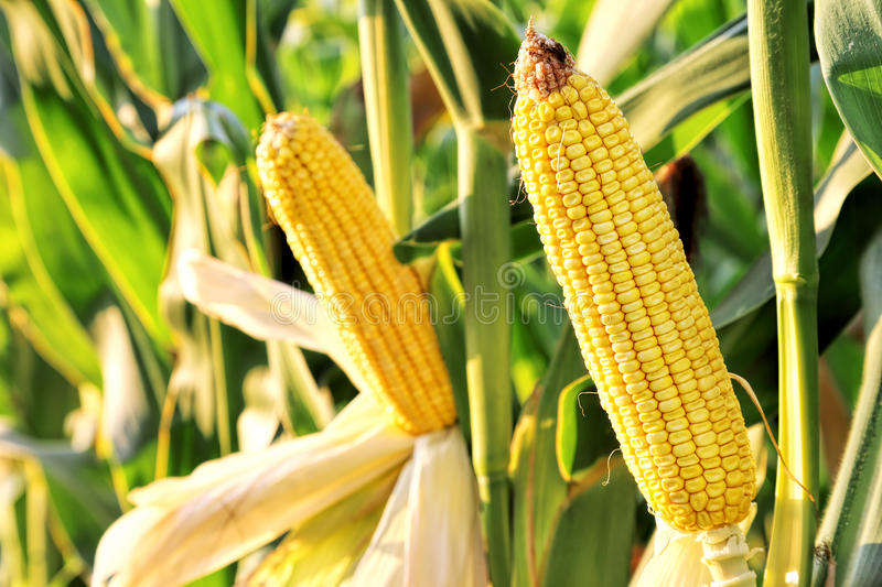 Corn in the field royalty free stock photos