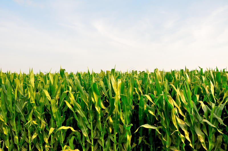 Download Corn Field stock photo. Image of natural, harvest, park - 83716652
