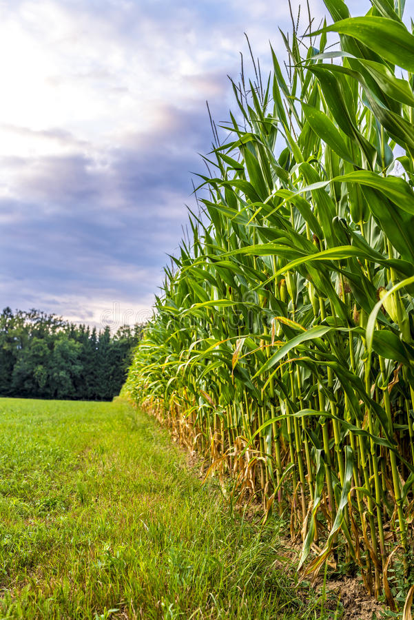Corn Field Edge Royalty Free Stock Photo