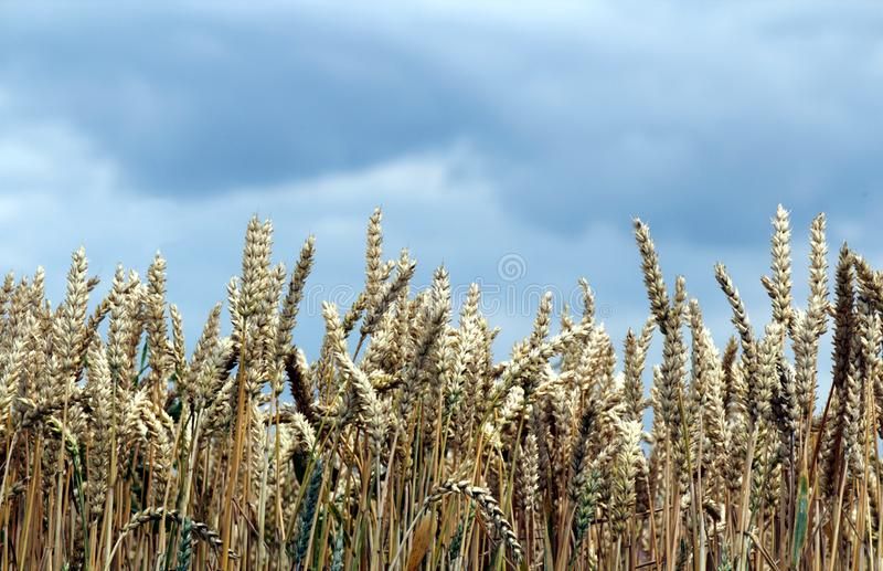 Download Corn Field In Front Of A Cloudy Sky  Horizontal Stock Image - Image: 25806075