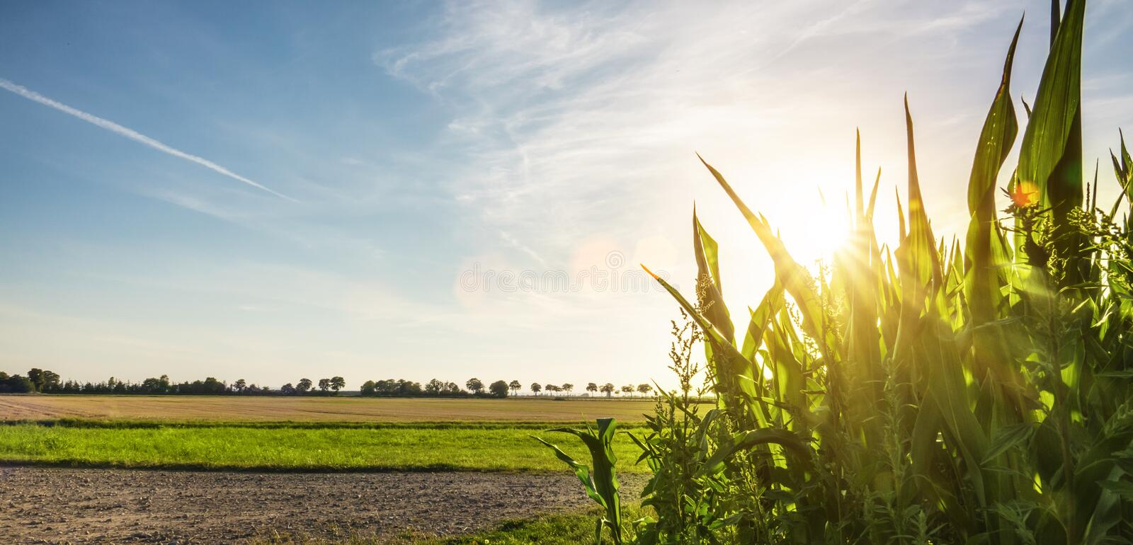 Corn field garden agriculture in countryside stock image