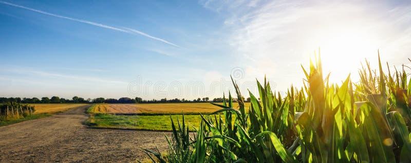 Corn field garden agriculture in countryside stock photos