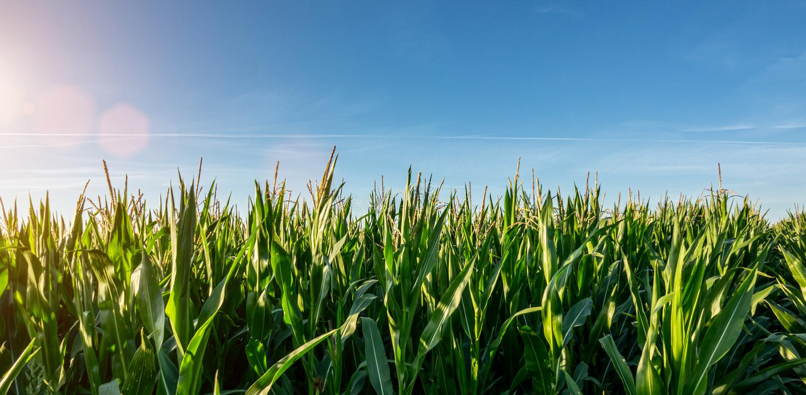 Corn field garden agriculture in countryside royalty free stock photo