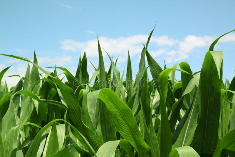 Corn field. Green corn field in springtime royalty free stock photos