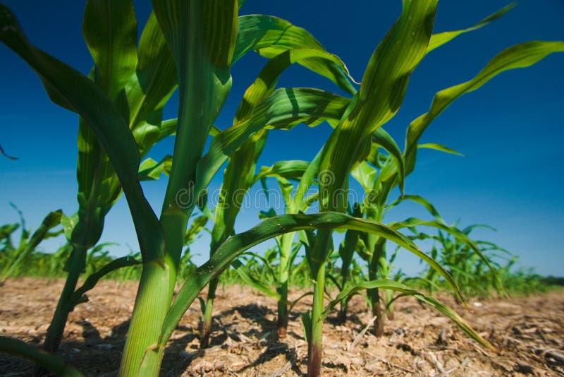 Corn field growing royalty free stock photos