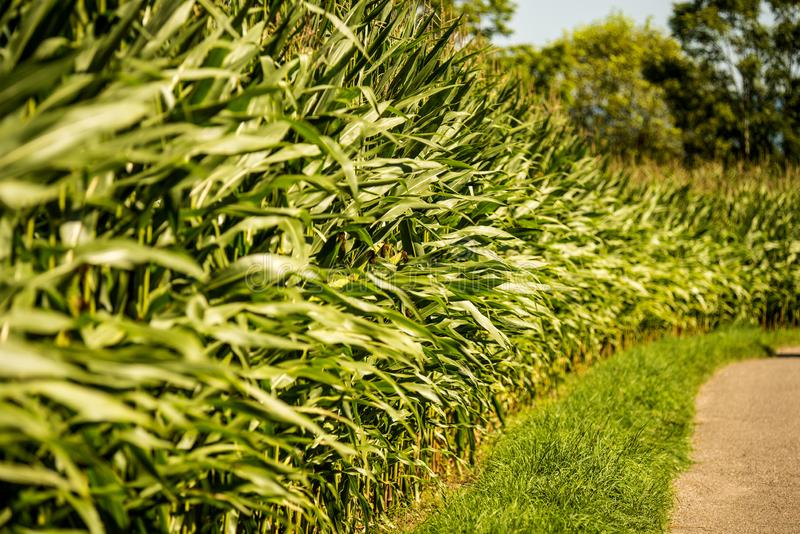 Corn, field with growing maize stock images