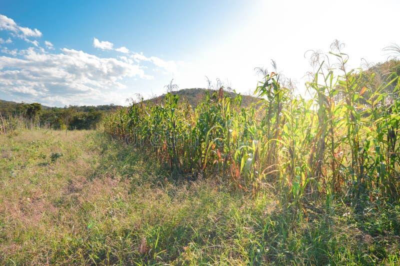Corn field lit by the sunlight near San Ignacio, Belize. Small corn plantation lit by the sunlight in the fields near San Ignacio, Belize royalty free stock photography