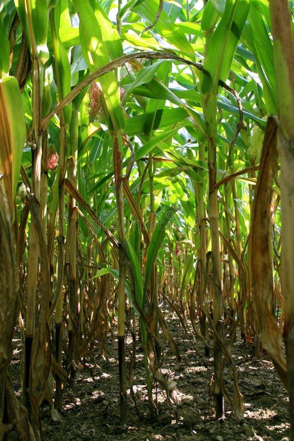 Corn field, maize royalty free stock photo