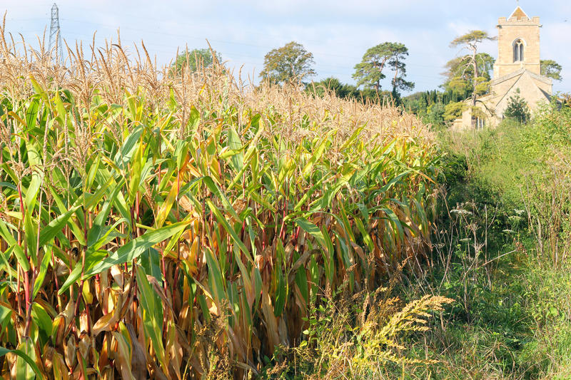 Corn field next to a church in the United Kingdom. royalty free stock images