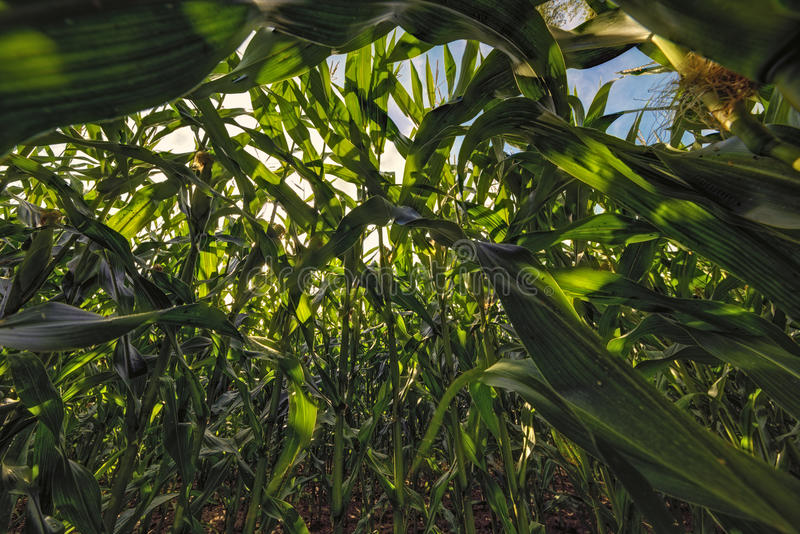 Corn field. The photo shows a corn field from the frog perspective royalty free stock images
