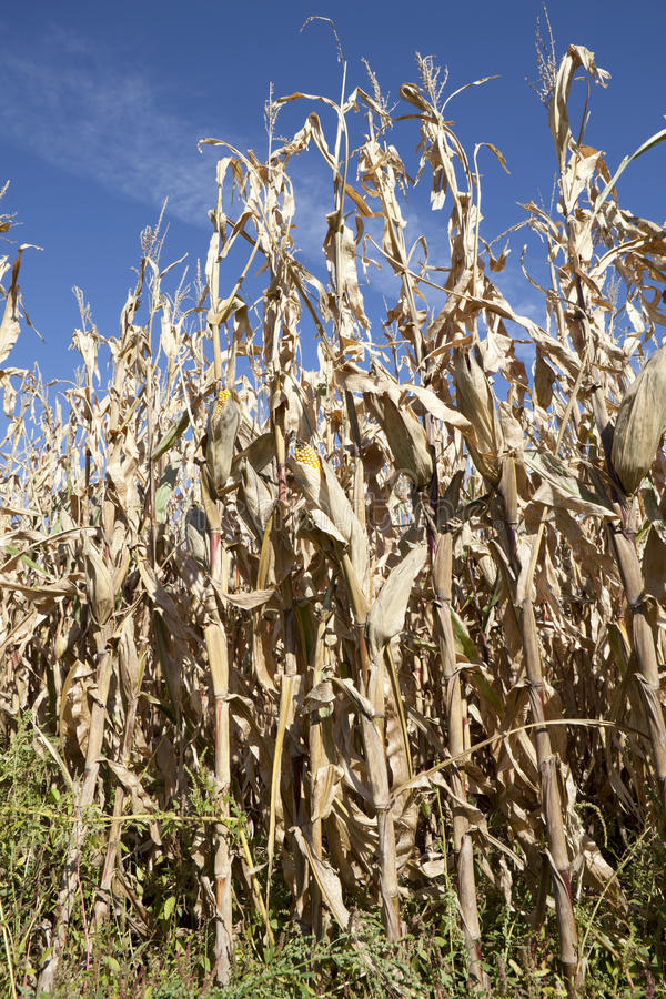 Corn Field Ready for Harvest royalty free stock images