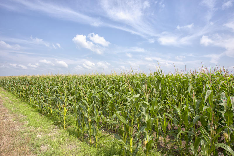 Corn Field. Road side photo of the corn fields stock images