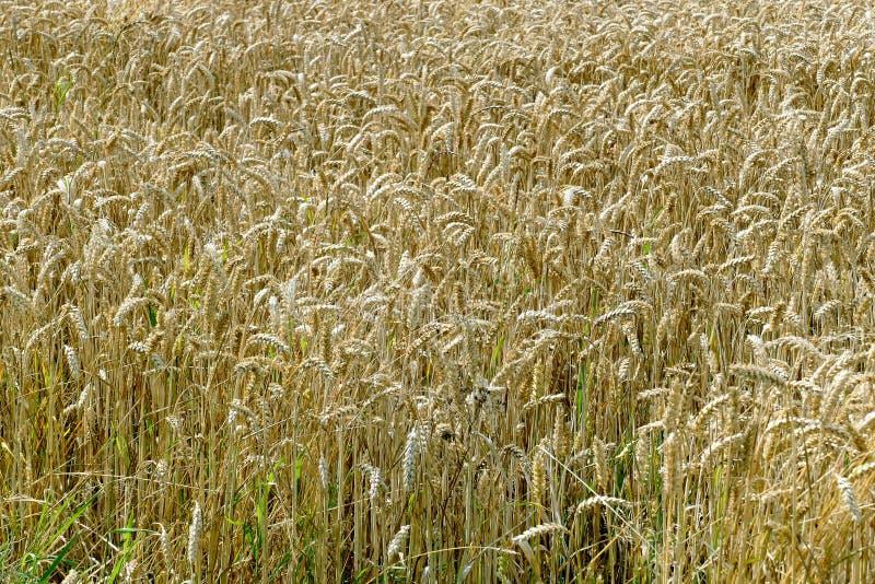 Corn field. royalty free stock image